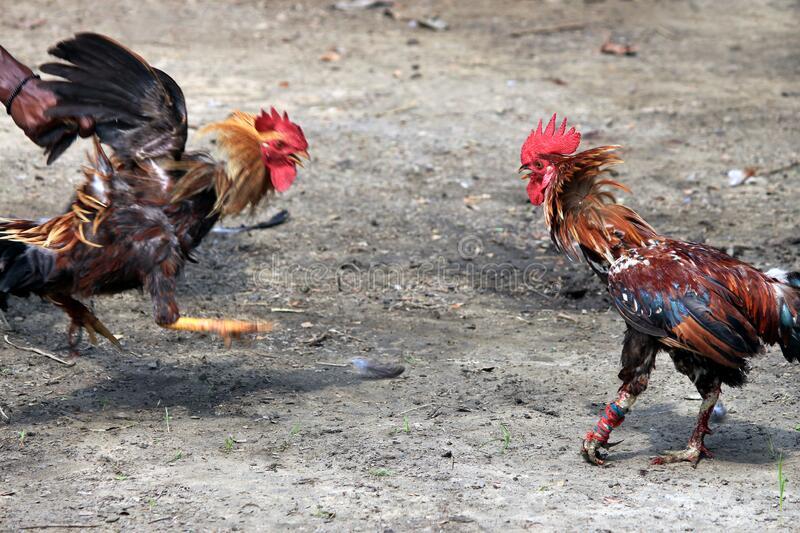 Judi Ayam Terkenal